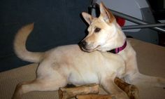 American Dingo Dog | Ruby~a proud American Dingo! | Ruby's Smile