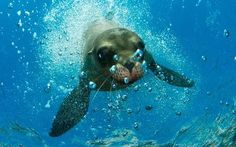 Sea lion pup poses for the camera in the Sea of Cortez, Mexico