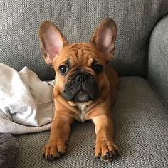 The major breeds of bulldogs are English bulldog, American bulldog, and French bulldog. The bulldog has a broad shoulder which matches with the head. Fawn French Bulldog, French Bulldog Puppies, French Bulldogs, English Bulldogs, Cute Puppies, Cute Dogs, Dogs And Puppies, Doggies, Terrier Puppies