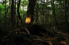 Aokigahara Forest in Japan - Suicide forest, authorities do a cleanup every year to get rid of the bodies