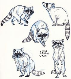 Drawing sketch raccoon