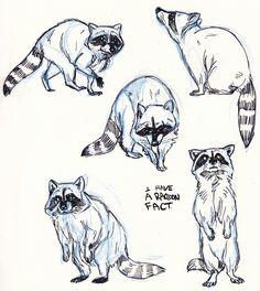Drawing sketch raccoon