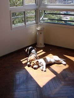 beagles sunbathing