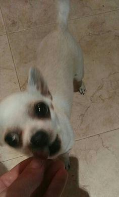 Wendy Cute Doge, Chihuahuas, Cute Animals, Instagram, Doggies, Pretty Animals, Chihuahua Dogs, Cutest Animals, Chihuahua