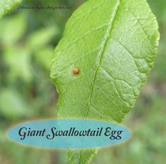 Giant Swallowtail eggs are some of the easiest butterfly eggs to find with orange against a contrasting green background. Find out how to raise these eggs into beautiful giant swallowtail butterflies. Butterfly Life Cycle, Butterfly Baby, Monarch Butterfly, Butterfly Children, Butterfly Food, Largest Butterfly, Butterfly Garden Plants, Monarch Caterpillar, Butterfly Species
