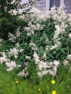 Goats Beard (aruncus dioicus): Grows human-high, 4 ft. wide, and produces 1 1/2-ft. plumes of white flowers. This is widely native in the northern hemisphere.