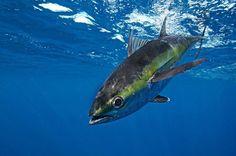 Tuna surprise...photo by Carmine Avena