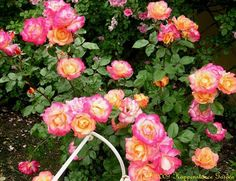 Full size picture of Floribunda Rose 'Rainbow Sorbet' (Rosa)