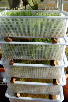 growing wheat sprouts for your chickens