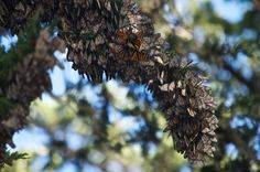 visit the monarchs overwintering in Pacific Grove