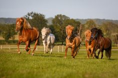 Daily Dose - September 12, 2015 - Here Come the Iceies! - Icelandic Horse   2015@Barbara O'Brien Photography
