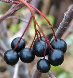Black chokeberry berries . Aronia melanocarpa