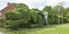 Elderly Man Spent 10 Years Turning 150-Ft-Long Hedge Into Giant Dragon   >   The medium is living, but the artistry is wonderful...people are wonderful...