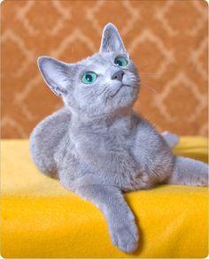 Zabava Russian Blue cattery