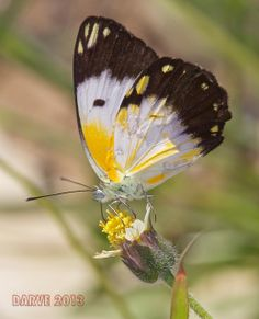 The African Common White (Belenois creona) - Flickr - Photo Sharing!