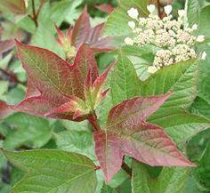 "'Redwing' Viburnum Shrub - Red Foliage - Flowering Shrub - 4"""" Pot"