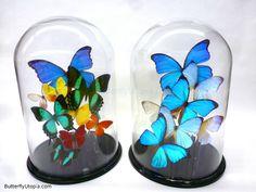 Glass Dome Butterflies