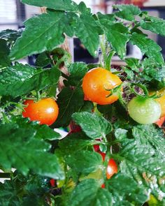 Tomato harvest in self-cultivation kits at home