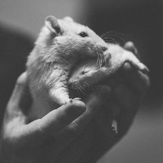 You never have to be afraid again / Du behöver aldrig mera vara rädd Les Rats, Rat Man, Fancy Rat, Cute Rats, Rodents, Pet Portraits, Animal Photography, Fur Babies, Dog Cat