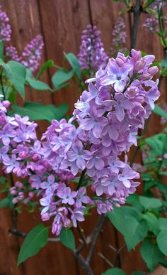 Lilacs won't bloom if they're overfertilized. They can handle a handful of 10-10-10 in late winter, but no more. After your lilac bush has finished blooming, spread some lime and well-rotted manure around the base. Trim the bush to shape it, and remove suckers at the same time.