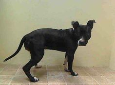 TO BE DESTROYED WED 1/15/14- Brooklyn Center   DHANE - A0989094   FEMALE, BLACK / WHITE, PIT BULL MIX, 1 yr  STRAY - EVALUATE, NO HOLD Reason STRAY  Intake condition NONE Intake Date 01/08/2014, From NY 11226, DueOut Date 01/11/2014 https://www.facebook.com/photo.php?fbid=739018196111062&set=pb.152876678058553.-2207520000.1389477632.&type=3&theater
