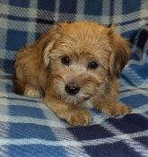 Yorkiechons - read more about the breed here...