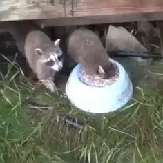 I'll eat and drink it all ! All, all all ! - I'll eat and drink it all ! All, all all ! I'll eat and drink it all ! All, all - Funny Animal Videos, Cute Funny Animals, Animal Memes, Cute Baby Animals, Funny Cute, Animals And Pets, Baby Pandas, Animal Humor, Hilarious