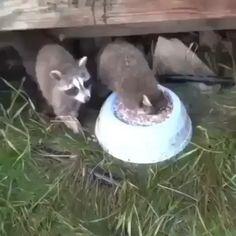 I'll eat and drink it all ! All, all all ! - I'll eat and drink it all ! All, all all ! I'll eat and drink it all ! All, all - Funny Animal Videos, Cute Funny Animals, Cute Baby Animals, Animal Memes, Funny Cute, Animals And Pets, Baby Pandas, Animal Humor, Hilarious