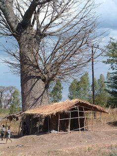 Baobab tree in Malawi http://www.trailheadstudios.com/blog.html