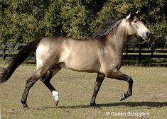 Lusitano stallion Veneno Imperial