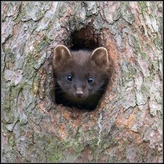 Things that make you go AWW! Like puppies, bunnies, babies, and so on. A place for really cute pictures and videos! Zoo Animals, Cute Animals, Wild Animals, Pine Marten, Zoology, Animal Kingdom, Pet Birds, Mammals, Animal Pictures