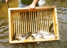 Raising rainbow trout commercially is a profitable alternative to conventional agriculture that can be practiced with very little land, provided that water conditions in thefacilityand the care and feeding of the trout are properly maintained.data-pin-do=