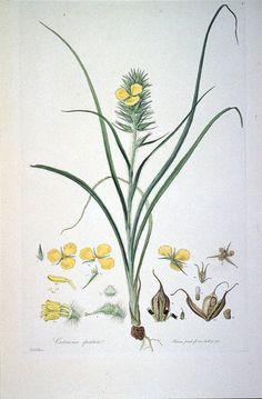 Cartonema spicatum (Illustrationes Florae Novae Hollandiae plate 7) - Illustrationes Florae Novae Hollandiae - Wikimedia Commons