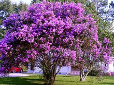 Purple Crepe Myrtle(Lagerstroemia indica 'Purpurea') is a very hardy and drought tolerant plant. The Purple Crepe Myrtle gets its name from the beauti Diy Garden, Garden Trees, Dream Garden, Garden Plants, Garden Spaces, Trees And Shrubs, Flowering Trees, Trees To Plant, Purple Flowering Tree