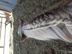 Hannah Rivera: I braided my horse's mane! First I French braided the very top (right hand side), then I half french braided right underneath it (to the left). I also Dutch braided her forelock! (The forelock is the hair that hangs down in between her ears)