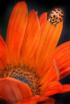 https://flic.kr/p/eixZHQ | Dot May tricks | An orange ladybug befriends an orange flower at the Carlsbad Flower Fields.