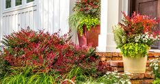 25 Landscaping With Nandina Plants Tall Pictures and Ideas on Pro Landscape - Modern Winter Container Gardening, Container Gardening Vegetables, Container Plants, Plant Containers, Planting Shrubs, Garden Shrubs, Planting Flowers, Garden Edging, Flowering Plants