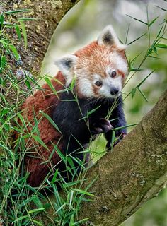 Red Panda, by Sue Demetriou | Incredible Pics