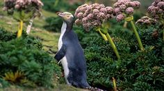 The shy yellow-eyed penguin, threatened by human endeavors, natural predators and hot weather, faces extinction despite conservation efforts.