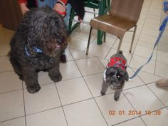 Therapy dogs at the Freehold Raceway Mall in Freehold, NJ. We call this Arnold Schwarzenegger and Danny DeVito!