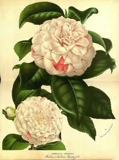 Camellia japonica var. Madame Ambroise Verschaffelt - circa 1874