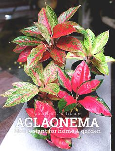 """Aglaonema """"อโกลนีมา"""" many varieties beautiful leaves. Container Plants, Container Gardening, Crotons Plants, Exotic House Plants, Best Indoor Plants, Ornamental Plants, Interior Plants, Cactus Y Suculentas, Green Plants"""