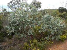 Tallerack, Eucalyptus tetragona. Date: 24 Oct 2012. By: Member - John and Val