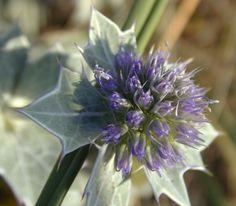 Eryngium maritimum Seeds, Plants, Plant, Planets