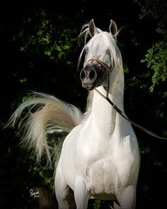 Arabian Horse Stallions | Mishaal HP covers the World! | Egyptian Arabian Horses - Arabians LTD.