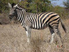 Burchell's zebra   Burchell's Zebra   Flickr - Photo Sharing!