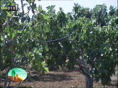 Φυσική καλλιέργεια - Βότανα και Υγεία: Η καλιέργεια της Συκιά