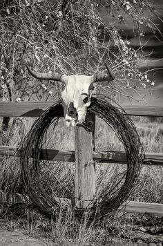 Photograph Cow Skull on Fence with Barbwire B&W by GJGK Photography on 500px
