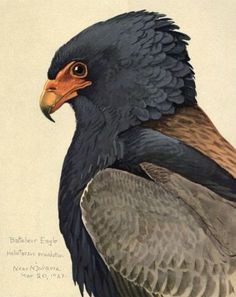 Bateleur Eagle, 1927, by Louis Agassiz Fuertes (1874–1927), from an Album of Abyssinian Birds and Mammals, published 1930