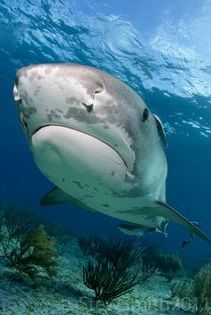 Tiger Shark My favorite... Looks like a grumpy old man.